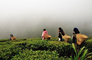 darjeeling-tea-tour